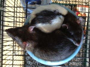 The Yin and Yang of Rats