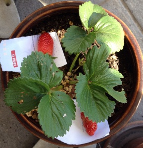 Happy Strawberries in the sun!