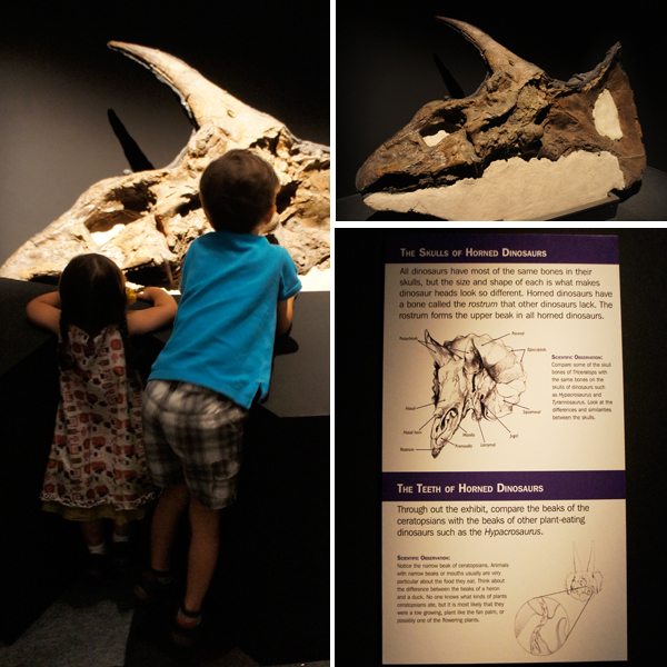 torosaurus-skull-fossil-dinosaur