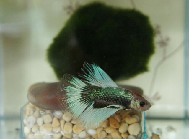 siamese-fighting-fish-tropical-pet