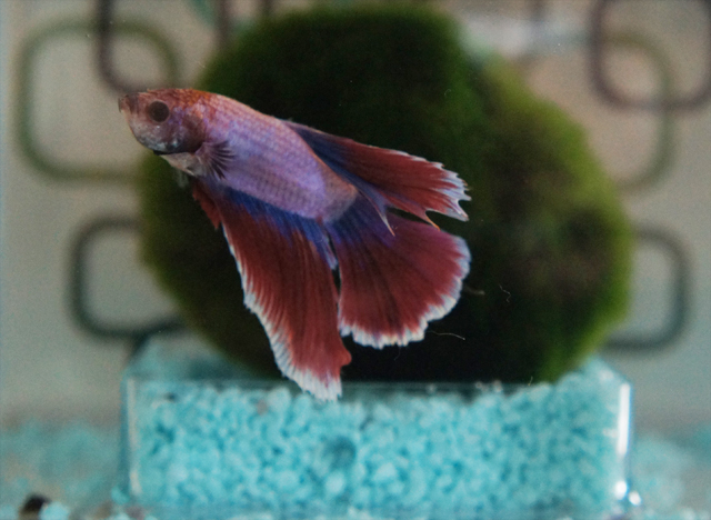 tropica-fish-siamese-fighting-pet