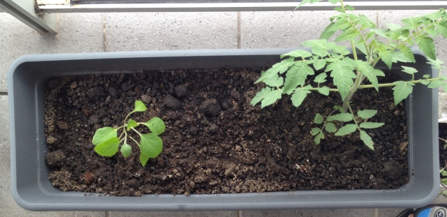 Tomato and Eggplants together, not the best companions, but still suitable