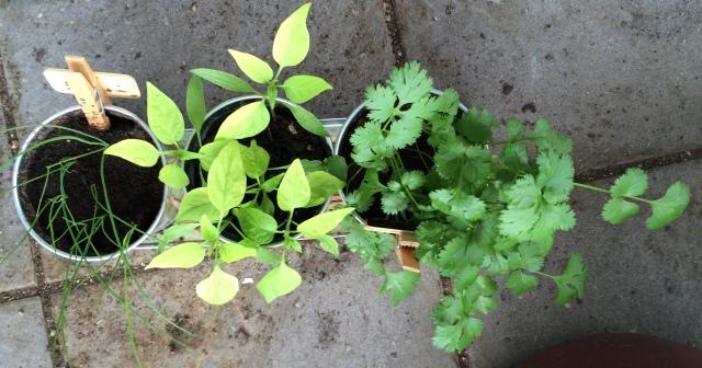 Herb Pots: Coriander, Chilli and Garlic Chives
