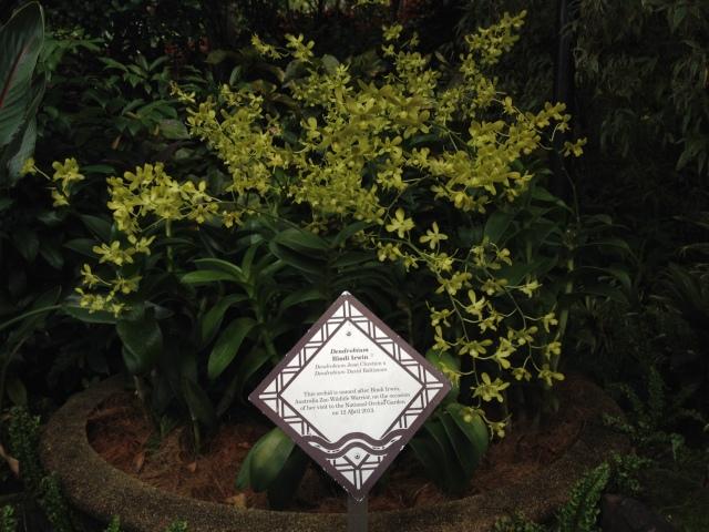 Dendrobium Bindi Irwin.  Green with Gold Flecks.
